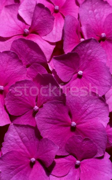 Rosa Blumen erschossen voll blühen Stock foto © Ximinez