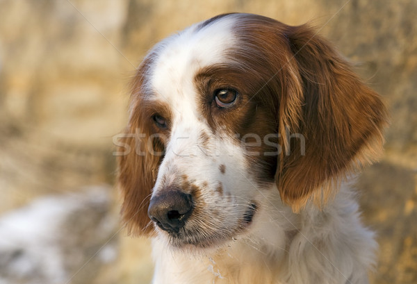 Irish red and white setter portrait Stock photo © Ximinez