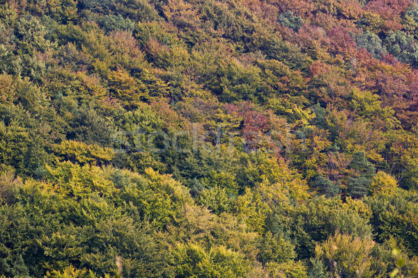 Beech and pine forest in autumn colors Stock photo © Ximinez