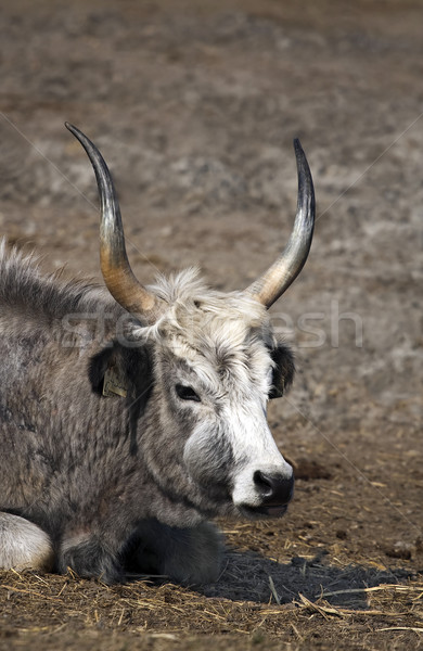 Hungarian grey cattle portrait Stock photo © Ximinez