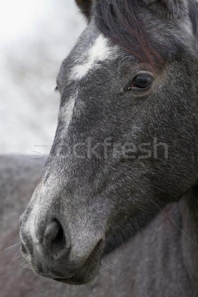 Pferd Porträt grau Auge Haar Bauernhof Stock foto © Ximinez