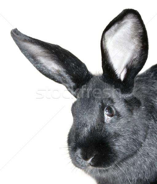 Schwarz Kaninchen Porträt jungen Bauernhof aussehen Stock foto © Ximinez
