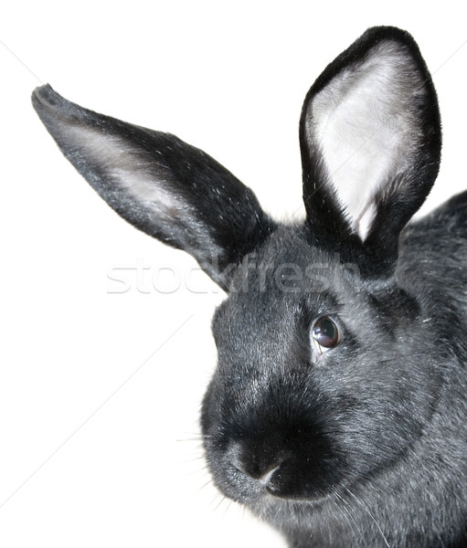 Black rabbit portrait Stock photo © Ximinez