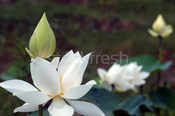 Vietnamese flower white lotus flower stock photo honghanh macthi add to lightbox download comp mightylinksfo