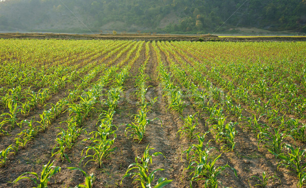 Row of sapling on vegetable field  Stock photo © xuanhuongho