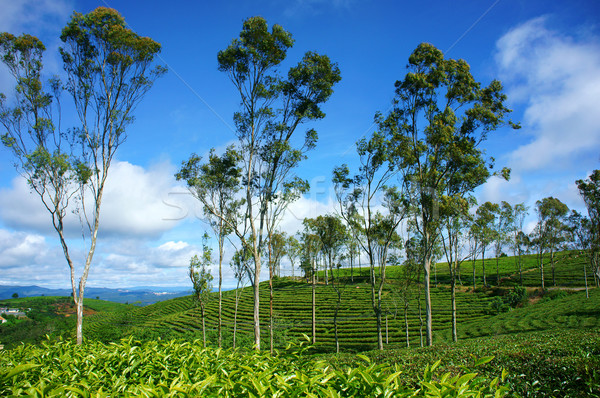 Hermosa paisaje árbol té colina viaje Foto stock © xuanhuongho