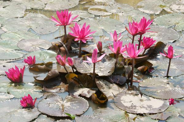 Delta viajar arrozal água lírio flor Foto stock © xuanhuongho