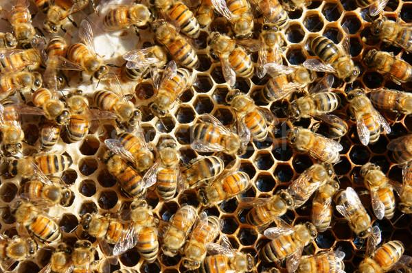 ベトナム 蜂の巣 蜂 はちみつ 農業 グループ ストックフォト © xuanhuongho