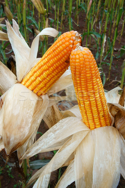 Experiment garden, yellow maize, Vietnam, agriculture, corn Stock photo © xuanhuongho