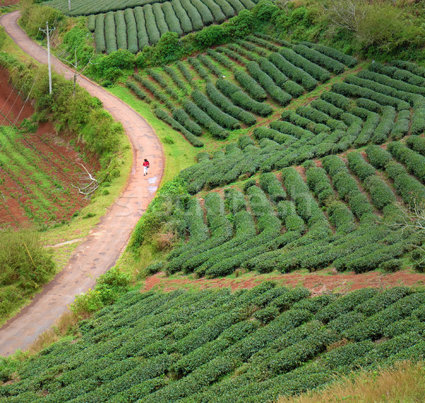Lonely people, way, walk, tea field, Dalat Stock photo © xuanhuongho