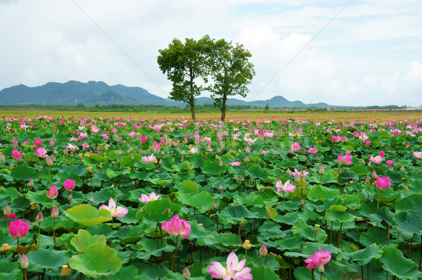 Vietnam travel, Mekong Delta, lotus pond Stock photo © xuanhuongho