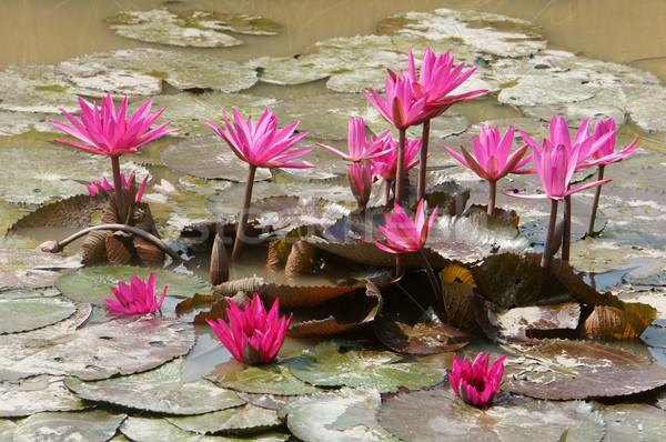Delta utazás rizsföld víz liliom virág Stock fotó © xuanhuongho