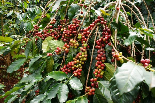 Koffie boom Rood boon plantage blad Stockfoto © xuanhuongho