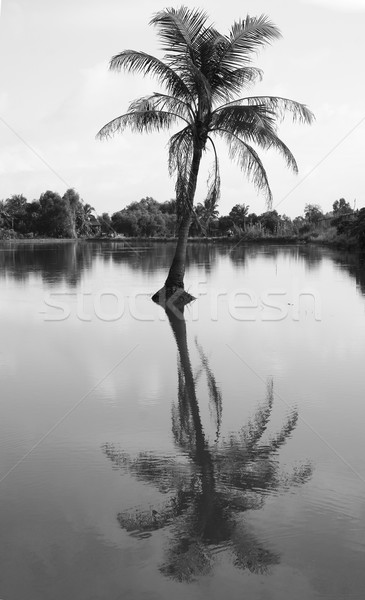 Coconut palm tree reflect on water Stock photo © xuanhuongho