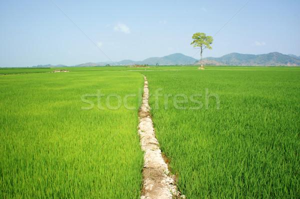 tree, Vietnam paddy field, Stock photo © xuanhuongho