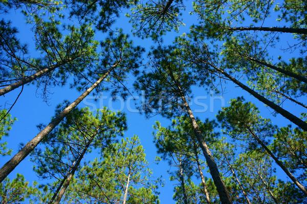 Mooie Vietnam landschap pine jungle ochtend Stockfoto © xuanhuongho