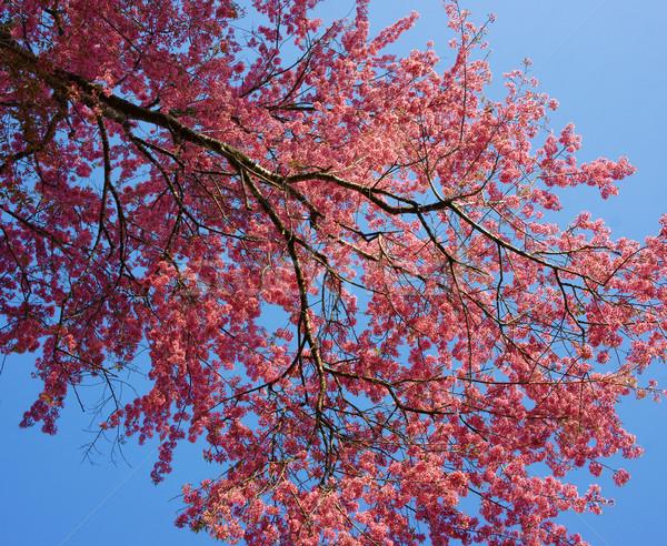 桜 咲く 活気のある ピンク 支店 ストックフォト © xuanhuongho