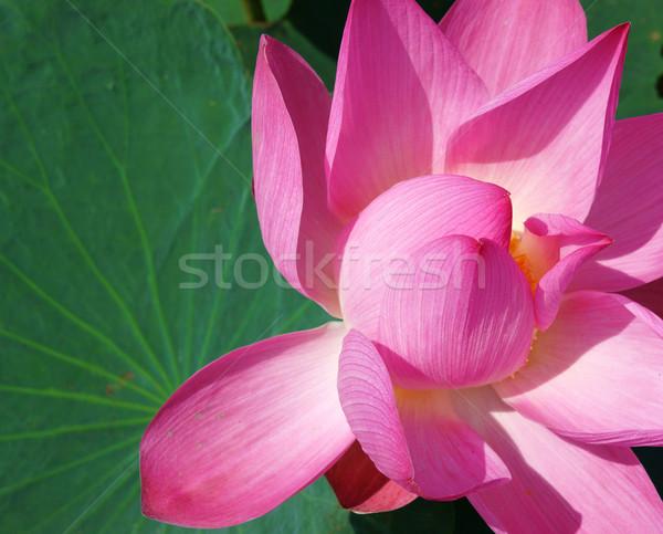 Close up, lotus flower, spring Stock photo © xuanhuongho