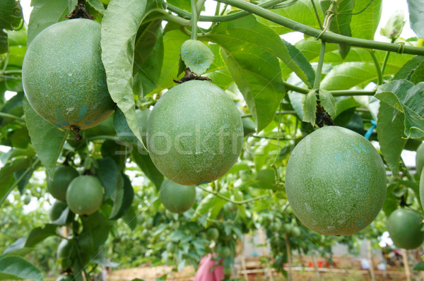 Passion fruits vitamine c aliments sains agriculture domaine Photo stock © xuanhuongho