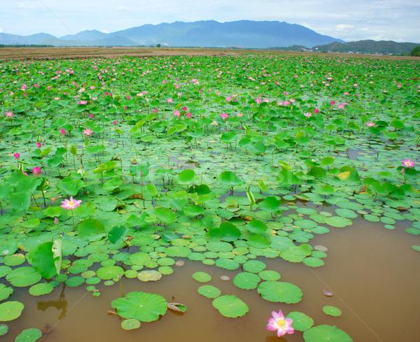 Vietnam bloem lotus vijver bloeien Stockfoto © xuanhuongho