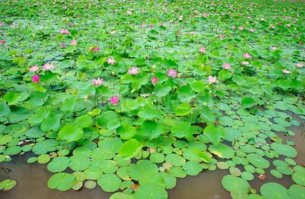 Vietnam flower, lotus flower, lotus pond Stock photo © xuanhuongho