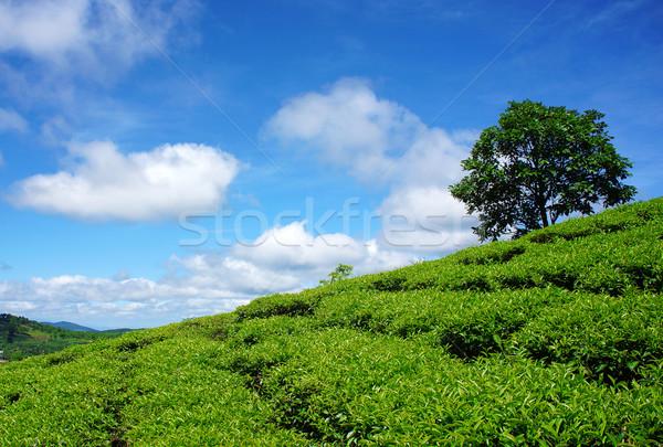 Eenzaam boom thee heuvel platteland bewolkt Stockfoto © xuanhuongho