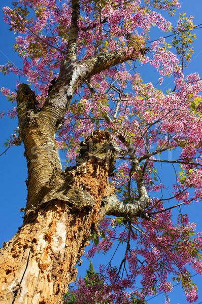 Wiosenny kwiat piękna charakter streszczenie sakura kwitnąć Zdjęcia stock © xuanhuongho