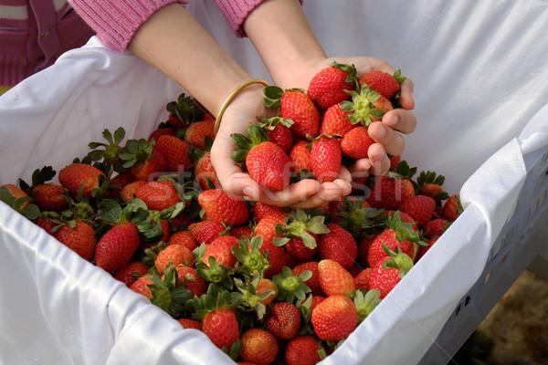 strawberry,Da Lat, dalat, fruit, agriculture Stock photo © xuanhuongho