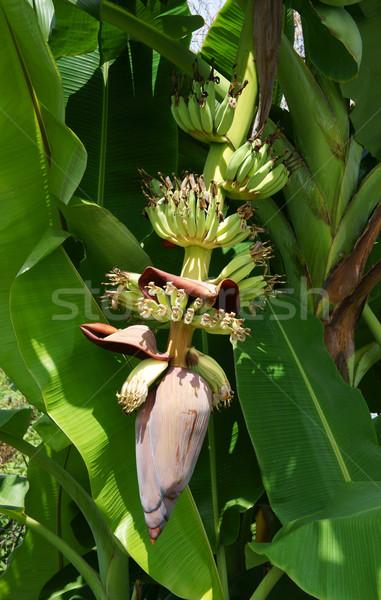 Bananów drzewo kwiat drzew Zdjęcia stock © xuanhuongho