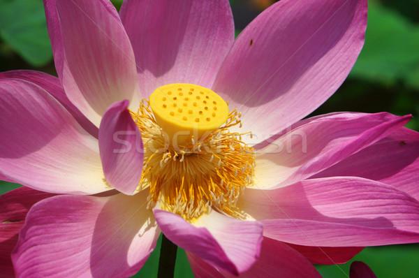 Voorjaar trillend roze Stockfoto © xuanhuongho