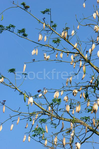 Silk cotton tree, Ceiba pentandra, kapok Stock photo © xuanhuongho