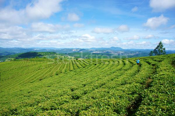 Foto stock: Impressionante · paisagem · Vietnã · chá · plantação