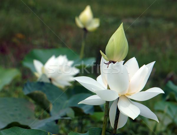 Virág fehér lótuszvirág merő szimbólum Vietnam Stock fotó © xuanhuongho