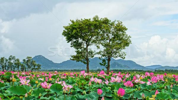 Vietnam utazás delta lótusz tavacska benyomás Stock fotó © xuanhuongho