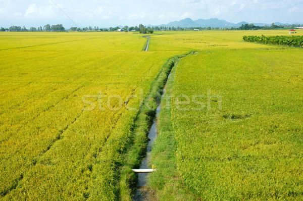 Vietnam platteland landschap rijstveld Geel Stockfoto © xuanhuongho