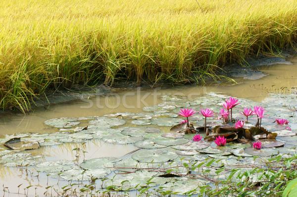 дельта путешествия воды Лилия цветок Сток-фото © xuanhuongho