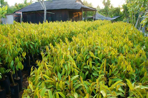 Faiskola növény kert gyümölcsfa csoport delta Stock fotó © xuanhuongho