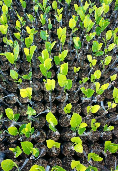 Planta jardim árvore frutífera grupo delta Foto stock © xuanhuongho