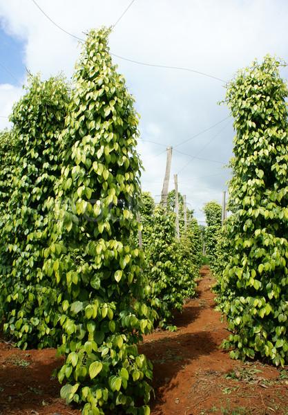 Pepper field, Viet Nam, farm product Stock photo © xuanhuongho