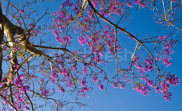 Vibrant violet phoenix flower Stock photo © xuanhuongho