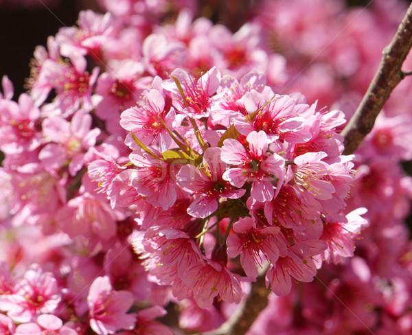 Flor de primavera hermosa naturaleza resumen sakura florecer Foto stock © xuanhuongho