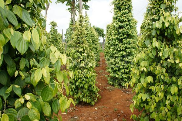 Peper veld boerderij product groep plant Stockfoto © xuanhuongho