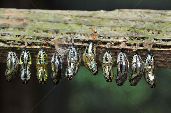 Stock photo: Butterfly breeding