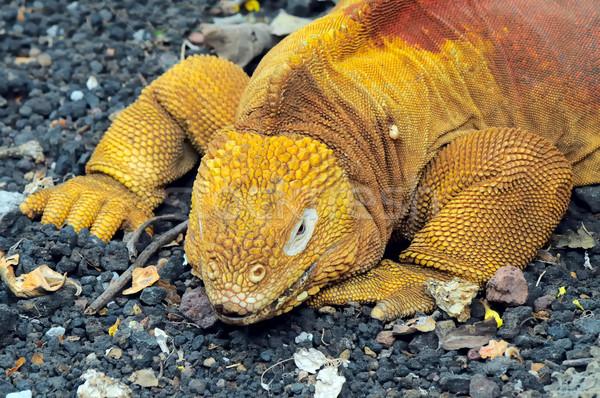 Red Dragon. Land iguana. Conolophus subcristatus Stock photo © xura