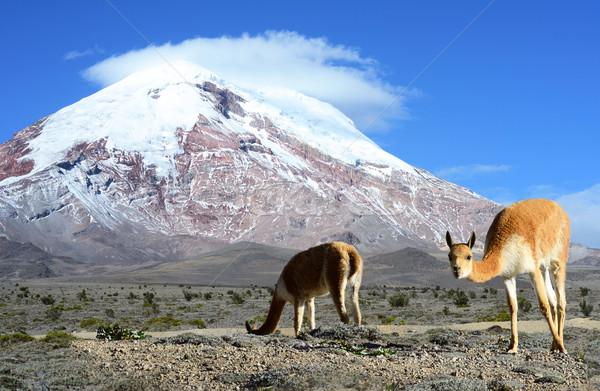 Vicugna. stratovolcano Chimborazo, Cordillera Occidental, Andes, Stock photo © xura