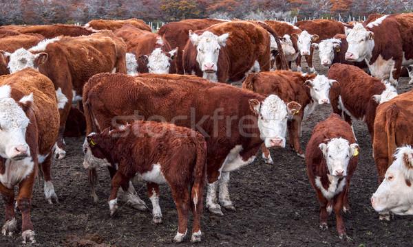 Stock fotó: Argentín · tehenek · természet · tehén · ipar · mezőgazdaság