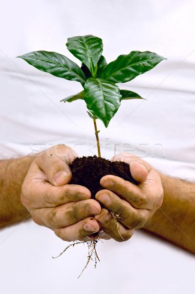 Mãos verde café planta mão Foto stock © xura