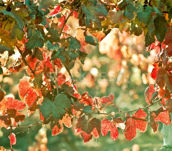 Sunny Autumn Vineyard. Mendoza in late autumn, when grapes harve Stock photo © xura