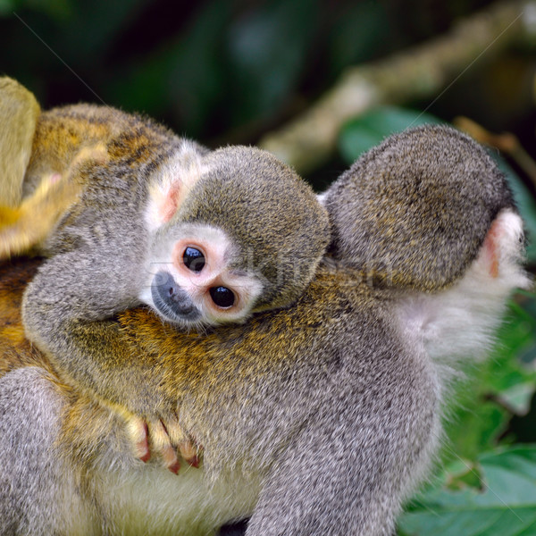Baby Squirrel Monkey on the back of his mom in amazon rainforest Stock photo © xura