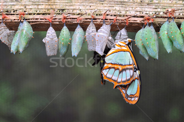 Rows of butterfly cocoons  Stock photo © xura